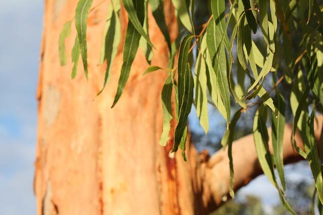 eukalyptus Body Kouros